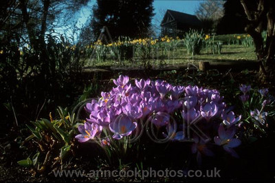 Crocus in Chalice Well Garden