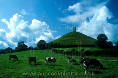 Glastonbury Tor with cows