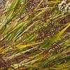 Pacific Northwest Coastal Grass 3
