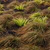 Pacific Northwest Coastal Grass 4
