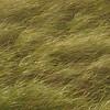 Pacific Northwest Coastal Grass 2