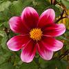 Color Splash - Fuchsia - UW Botanical Garden 18