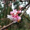 Pink Blossoms - Bellevue Botanical Garden 40