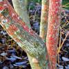Colorful Tree Trunk - Bellevue Botanical Gardern 64