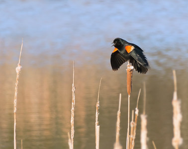 Puffed and Tough- Red-winged Blackbird