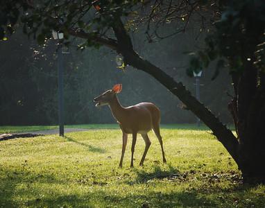 Deer Eating in the Morning Sun