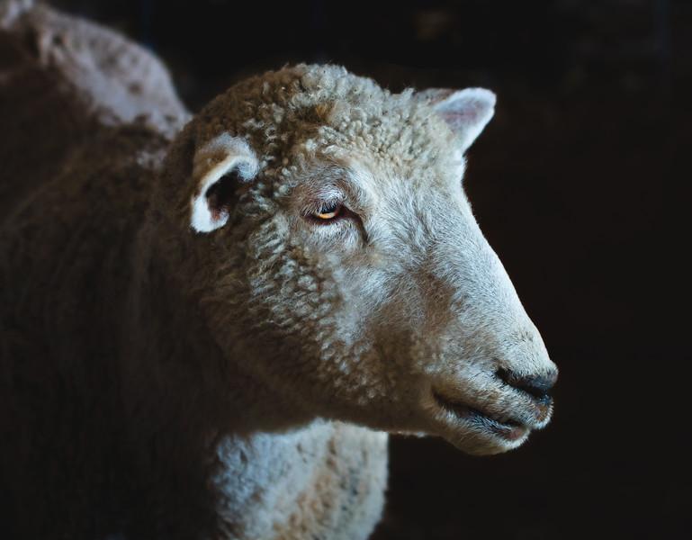 Sheepishly