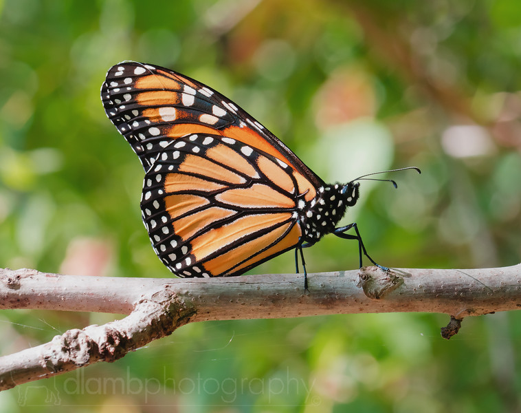 Monarch Resting For the Big Trip South