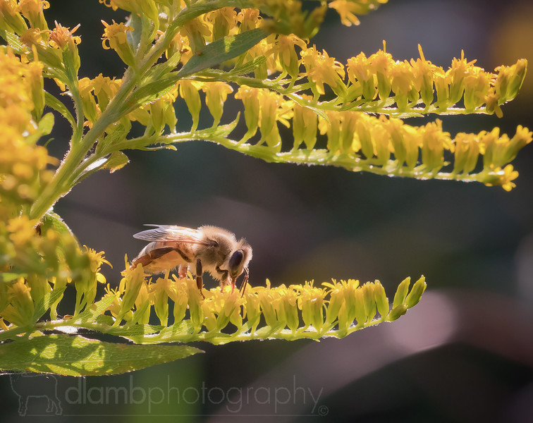 Honey Bee on Golden Rod