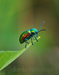 After the Rain- Dogbane Leaf Beetle