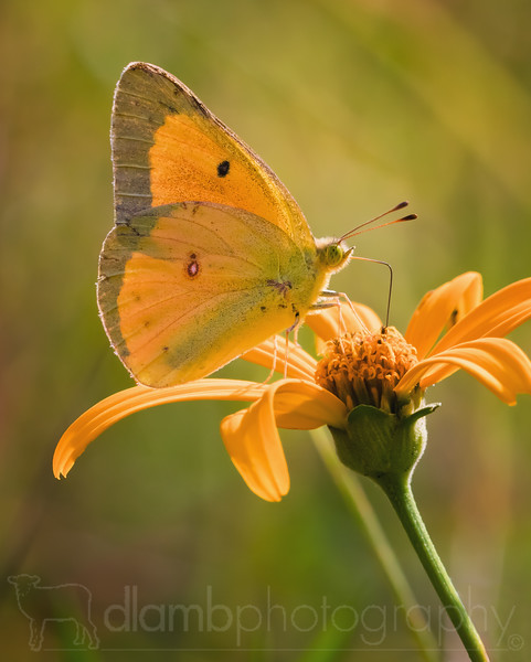 Mellow Yellow- Orange Sulphur Butterfly