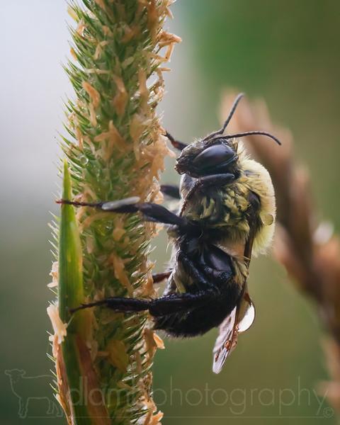 Bumblebee Taking Shelter