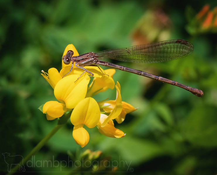 Damselfly on Bird's-foot Trefoil