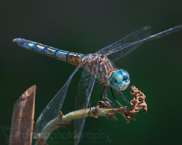 Dragonfly's Watch