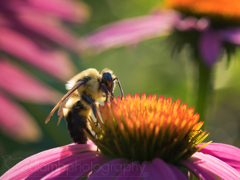 Bumble Bee in a Forest of Coneflowers