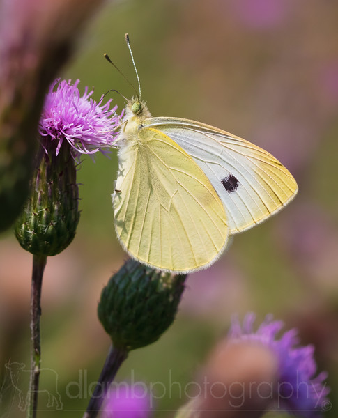 Cabbage Butterfly on Thistle