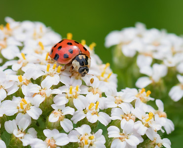 Lady Beetle is Hungry