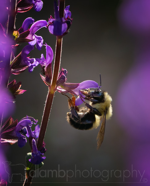 Bumblebee Feeding on Salvia