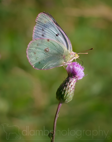 Orange Sulphur Butterfly on Thistle