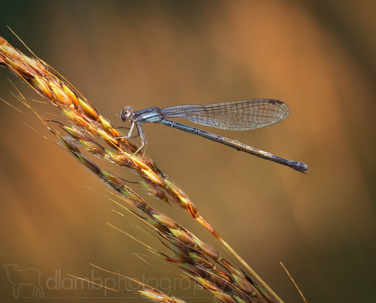 Damselfly Hunting in the Evening Sunlight