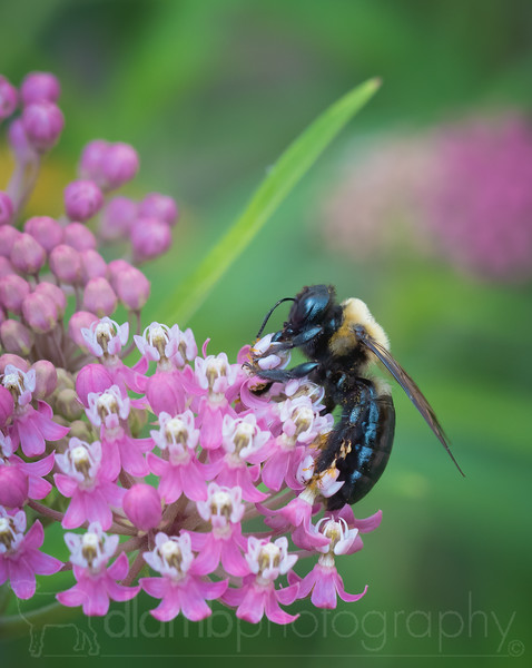 Big Bee on Milkweed Flowers