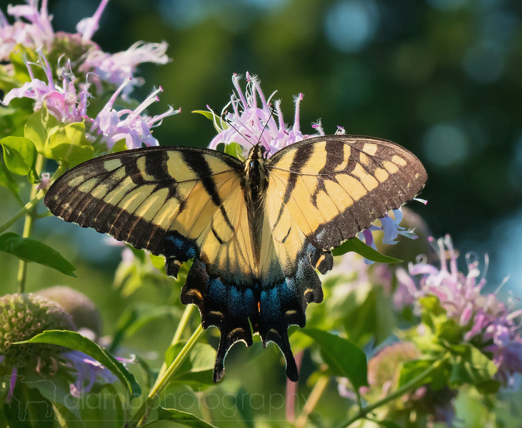 Eastern Tiger Swallowtail Butterfly Feeding on Bee Balm