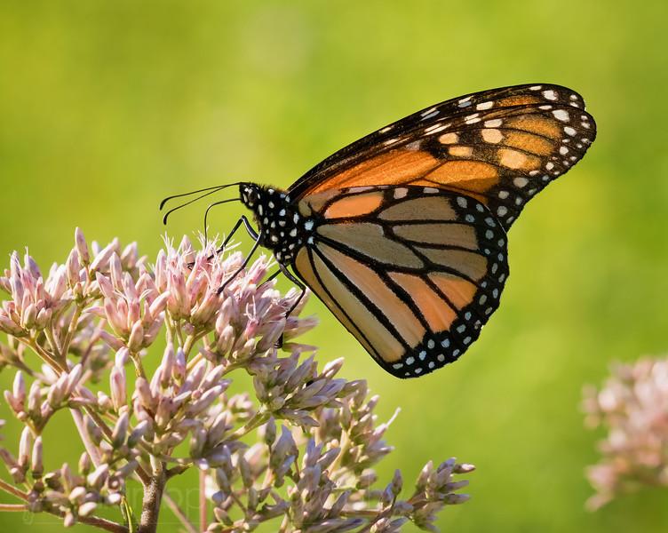 Monarch Tasting Flowers
