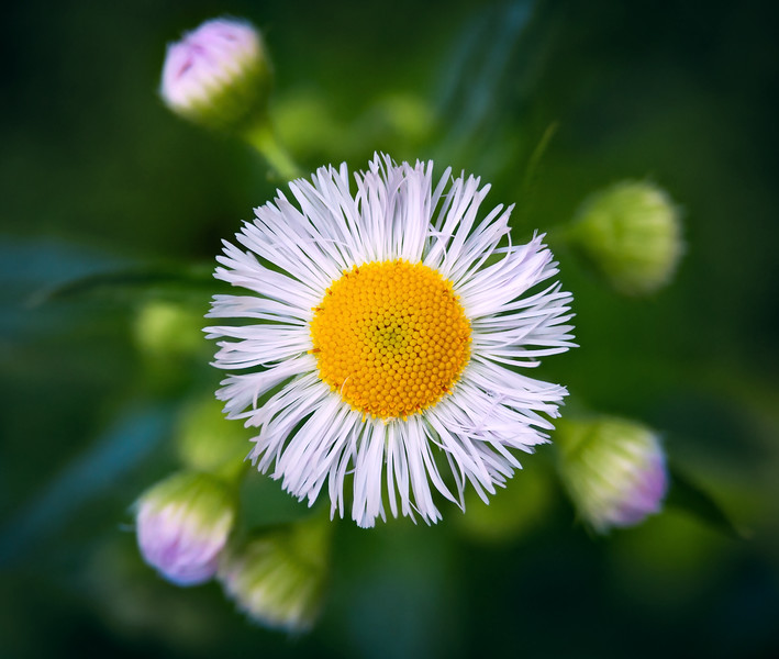 Micro Sun Flower