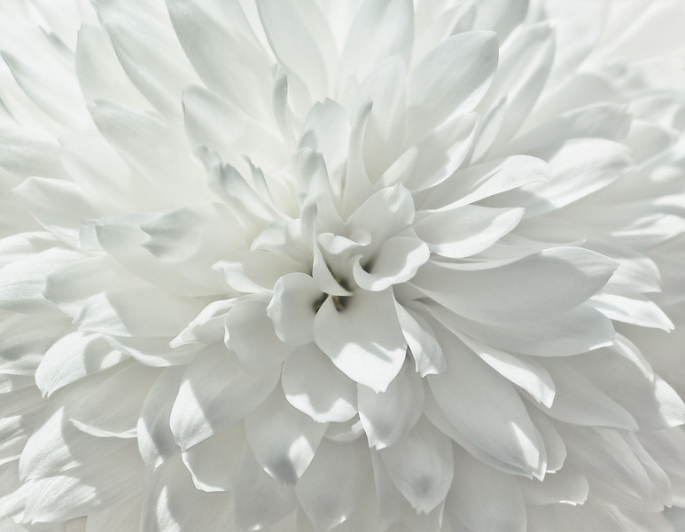 Close up of White Chrysanthemum Flower