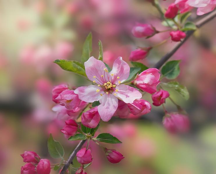 Crinkled Cherry Blossom