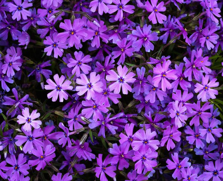 Universe of Purple Pinwheels; Creeping Phlox