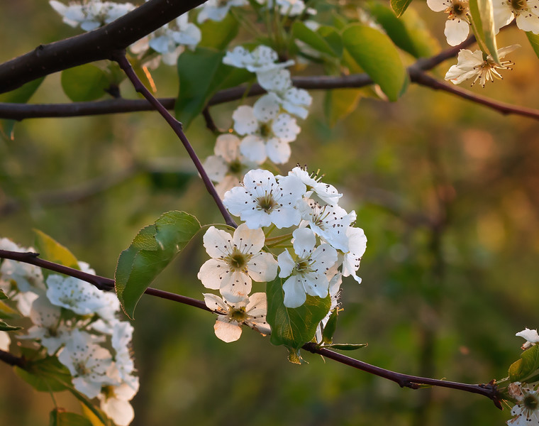 Pear Tree Blossoms in Spring