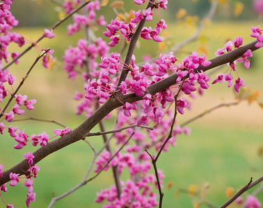 Eastern Redbud Tree's Spring Bloom