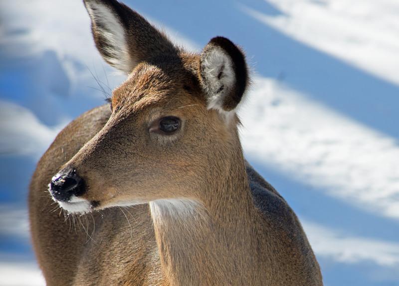 deer 012815 0426 3