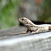 lizard 030115_0509