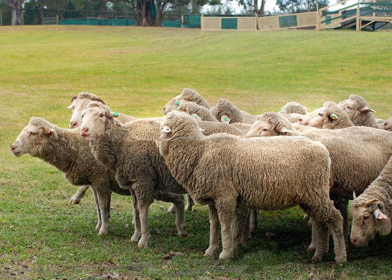 sheep aussie 081915 _2082