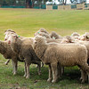 sheep aussie 081915 _2082
