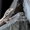 lizard 030115_0496 2