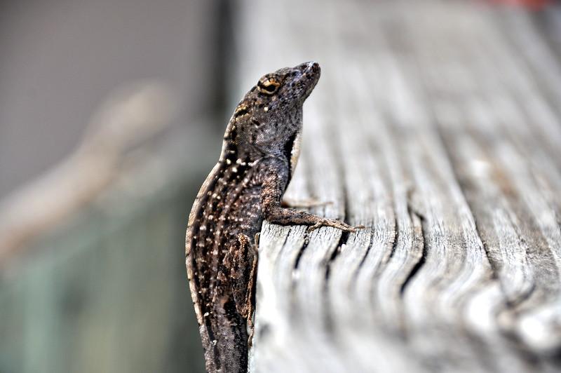 lizard 030115_0497