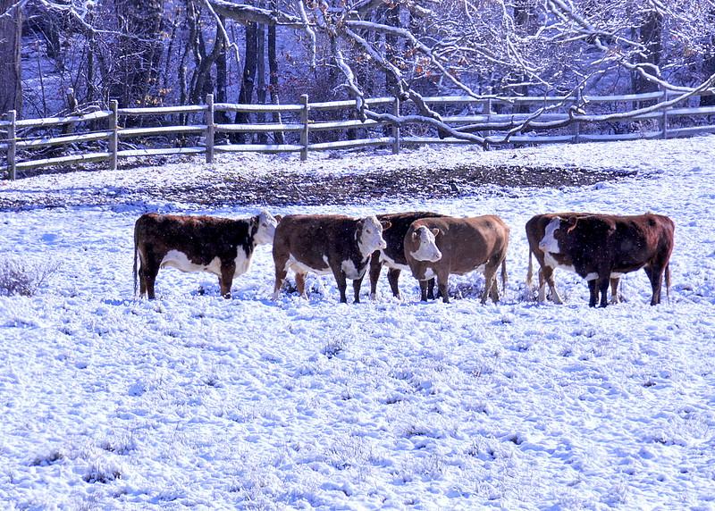 snow cows 111014_0713 2