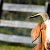 goat 101015 _8674 2