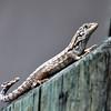 lizard 030115_0500