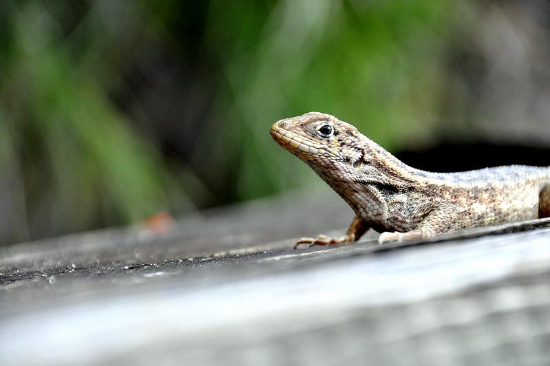lizard 030115_0512