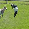 goat dance 042615 0855 3