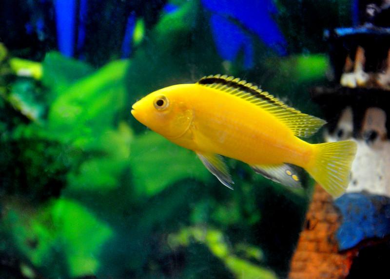 yellow fin 0183