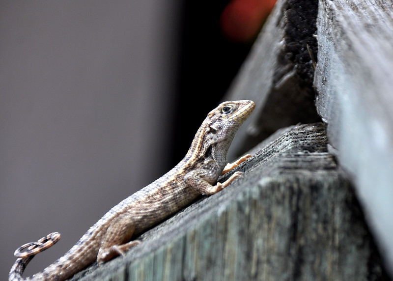 lizard 030115_0496