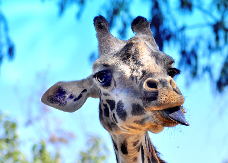 giraffe 41614_0577 3