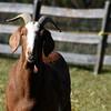 goat 101015 _8675