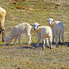 sheep 022216_0424