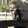 goat horse 101015 _8697